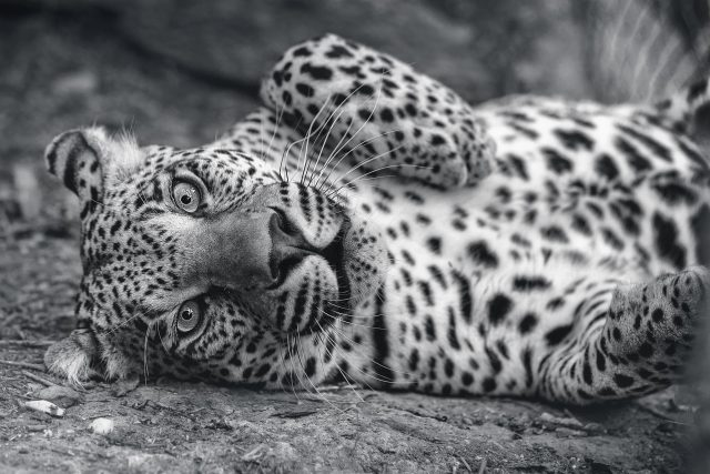 carla_leopard_chipangali_bulawayo_zimbabwe