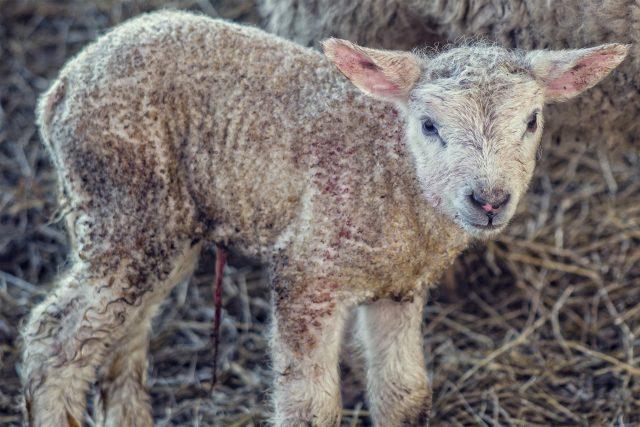 lamb_sweden
